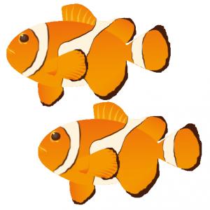 カクレクマノミ_隠熊之実_clown fish