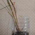 レモングラスの水耕栽培(2か月目)