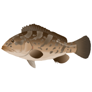 クエ_九絵_longtooth grouper