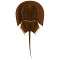 カブトガニ_兜蟹_horseshoe crab