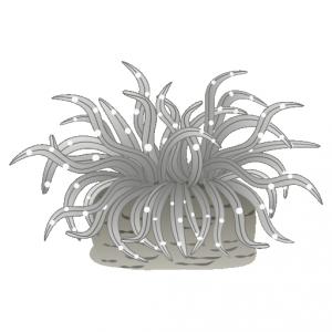 イソギンチャク_磯巾着_sea anemone