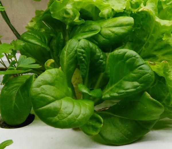 サラダ菜(種から)