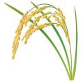 こめ_米_rice