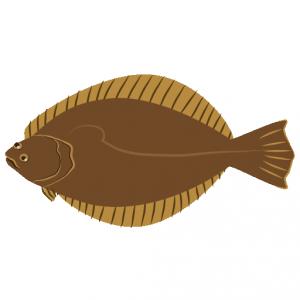 ひらめ_鮃_flounder