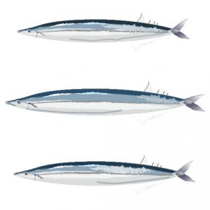 さんま_秋刀魚_saury