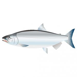 さけ_鮭_salmon